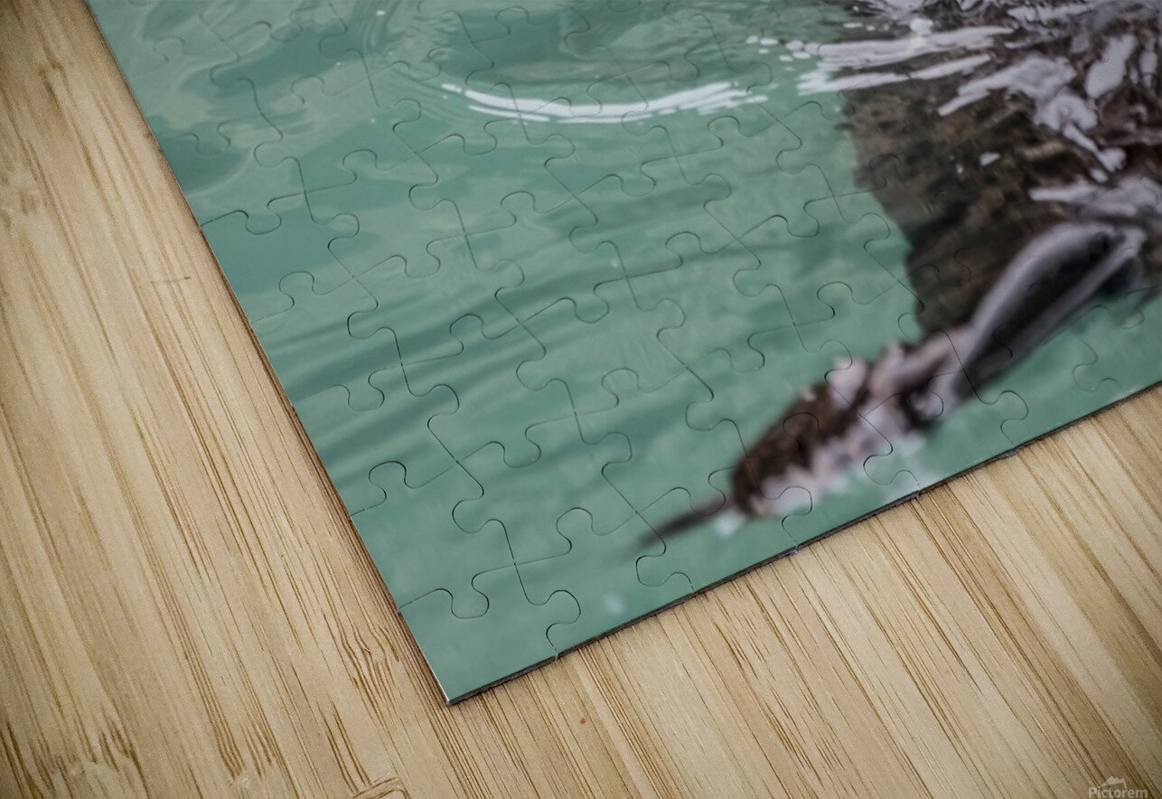 Close-up of a Sea Otter (Enhydra lutris) floating on it's back, looking towards the camera, South-central Alaska; Seward, Alaska, United States of America HD Sublimation Metal print
