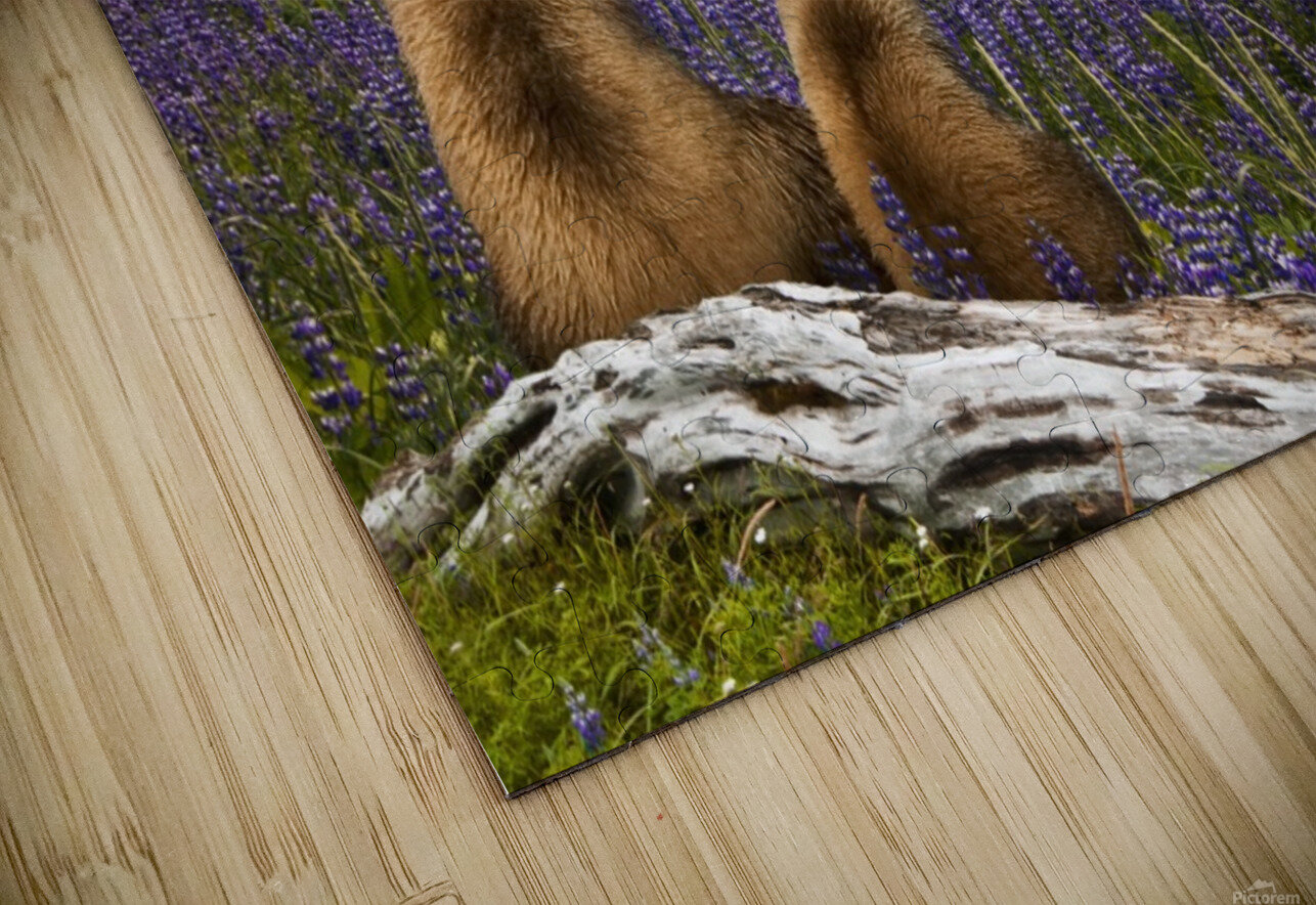 COMPOSITE: Grizzly Sow & cub sit in lupine along Seward Highway, Turnagain Arm, Southcentral Alaska HD Sublimation Metal print