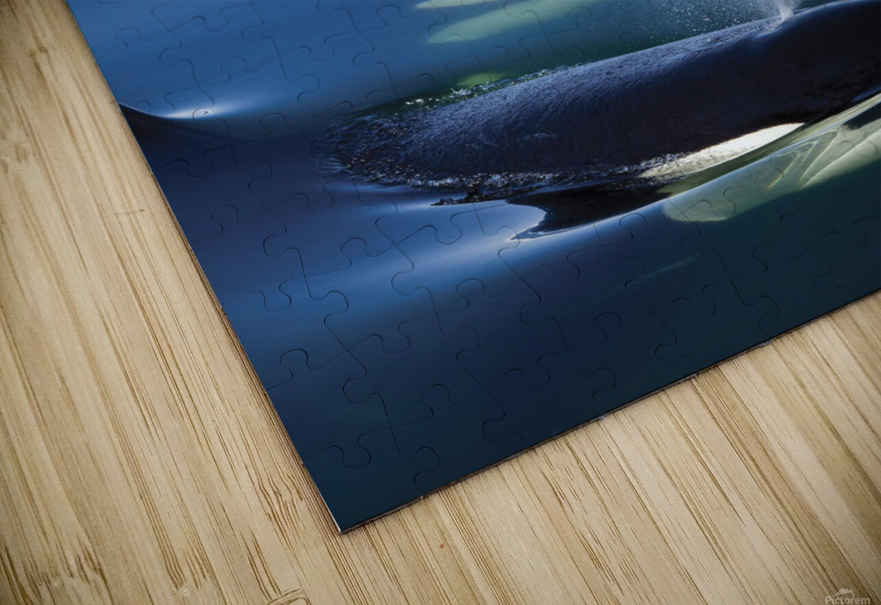 Composite: Close Up Of Orca Whales As They Surface In Lynn Canal With The Coast Range Mountains In The Background, Inside Passage, Southeast Alaska HD Sublimation Metal print