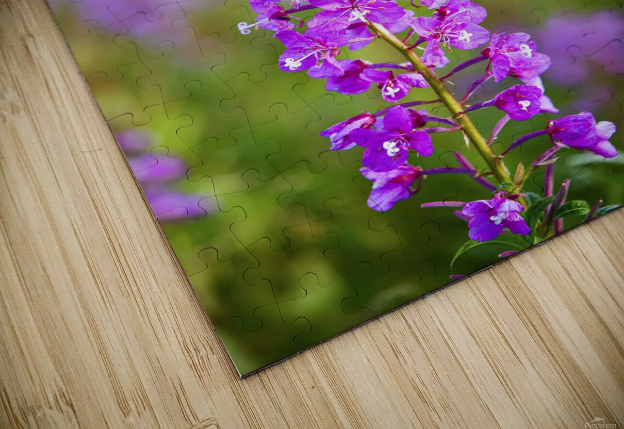 Fireweed Detail Near Anchor Point On The Kenai Peninsula In Southcentral Alaska. HD Sublimation Metal print