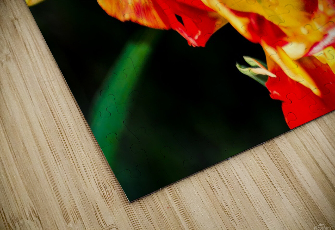 Tulip in Fringed Dress HD Sublimation Metal print