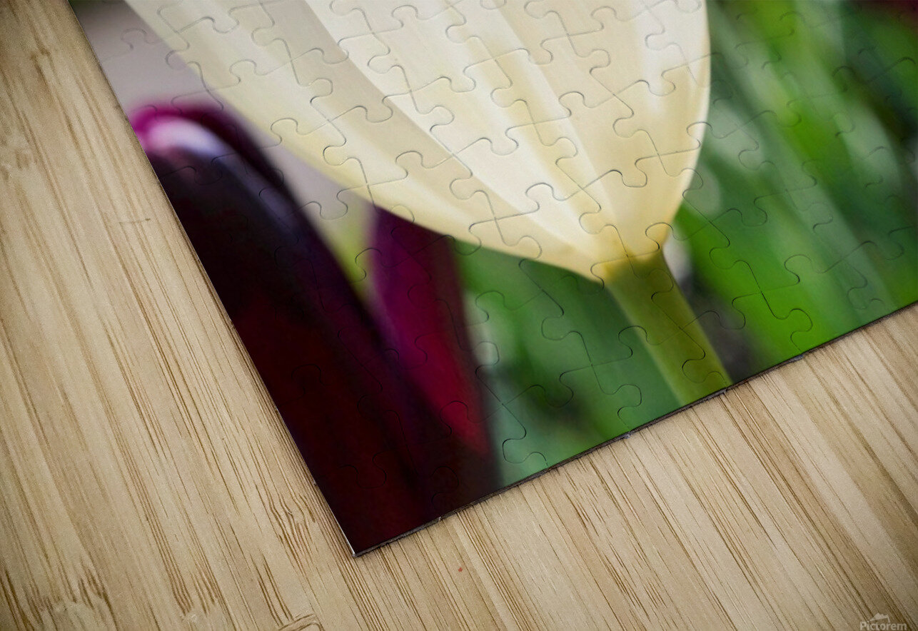 White Tulip Photograph HD Sublimation Metal print