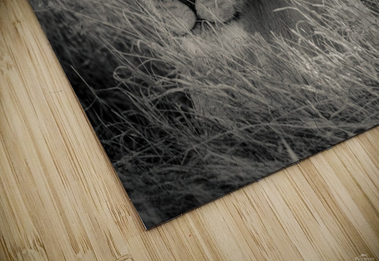 Lioness in the sun HD Sublimation Metal print