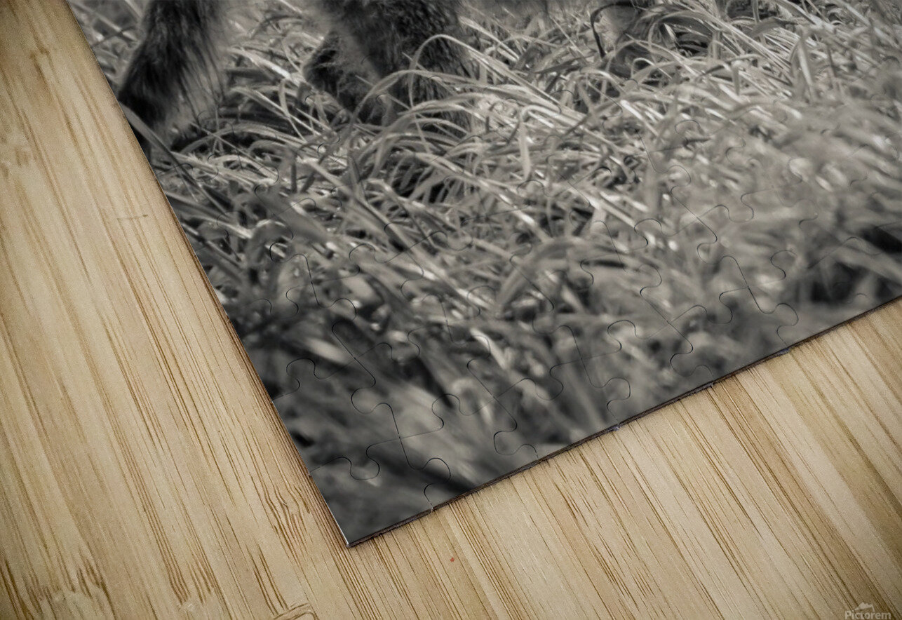 Coyote  HD Sublimation Metal print