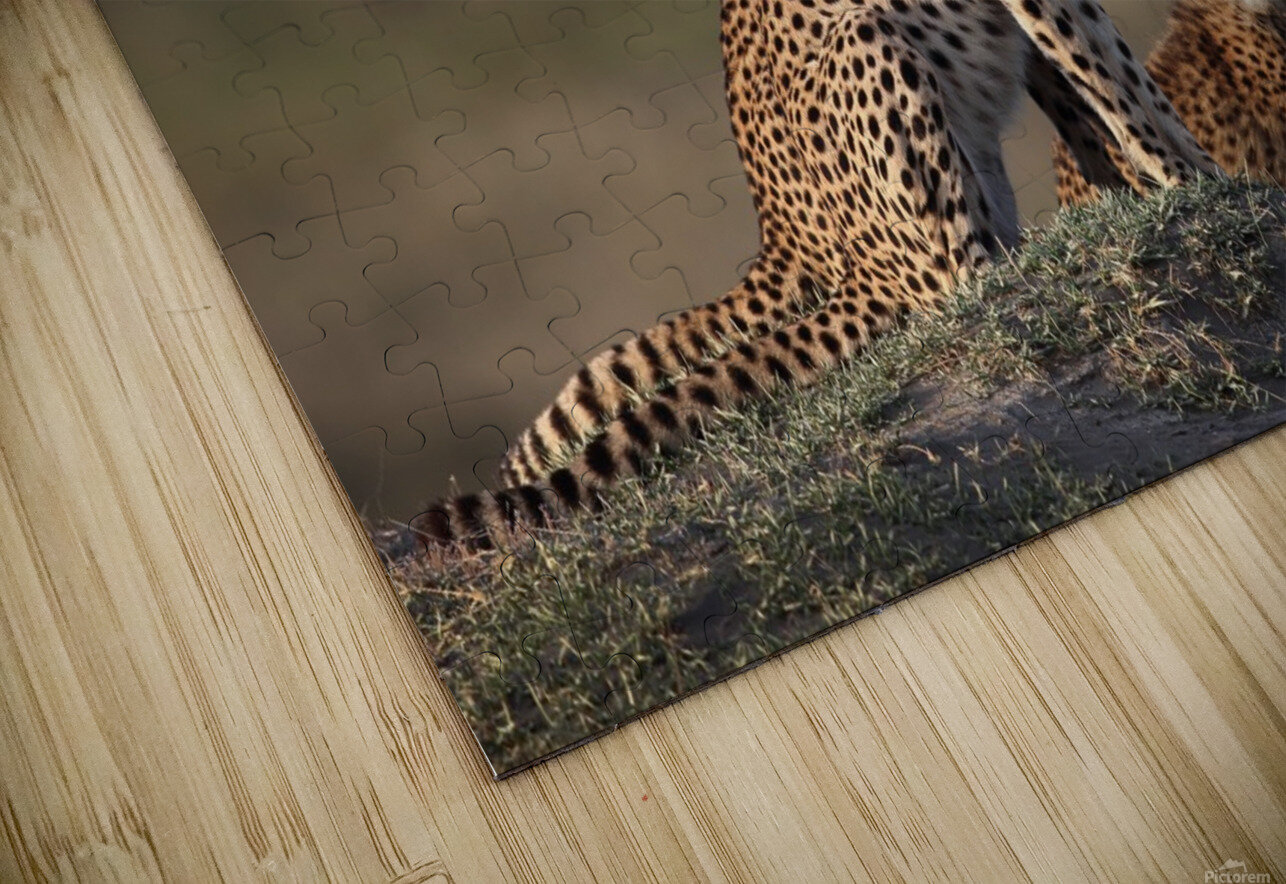 Cheetahs Family HD Sublimation Metal print