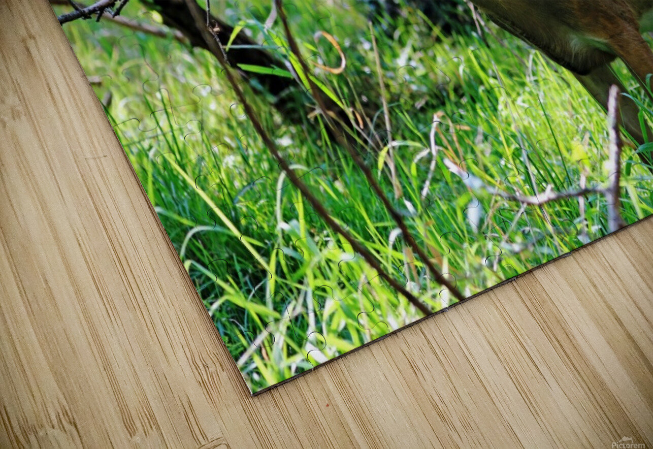 A Buck In The Grass HD Sublimation Metal print