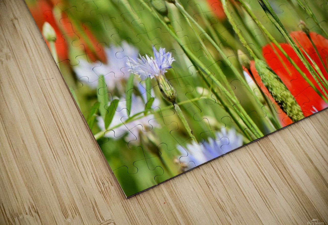 alpine cornflower, cornflowers, flowers, centaurea montana, field of flowers, poppy, composites, flora, wild plant, plant, flower garden, wild flower, garden, flower meadow, petal, meadow, nature, HD Sublimation Metal print