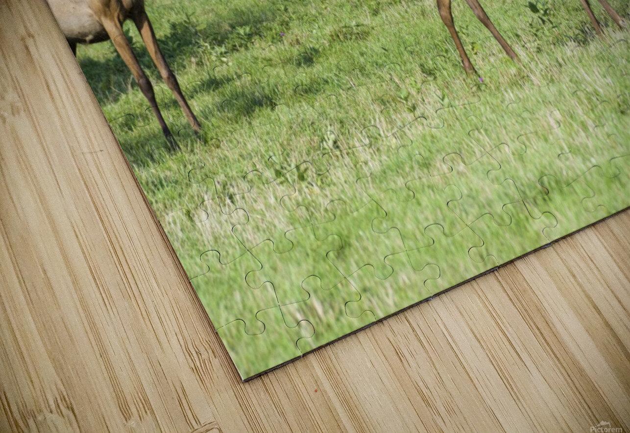 Elk Red Tailed Deer or Wapiti 4 HD Sublimation Metal print