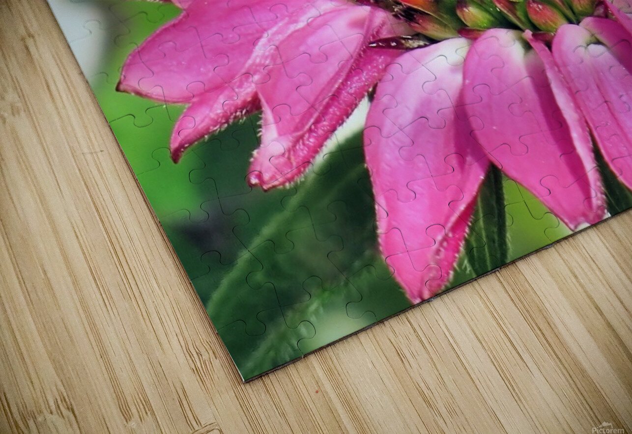 Pink coneflower  HD Sublimation Metal print