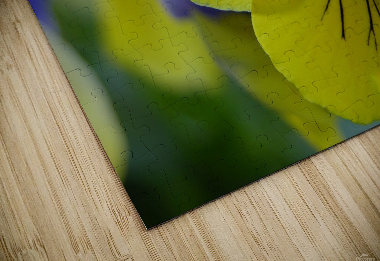 Yellow Pansy Photograph HD Sublimation Metal print