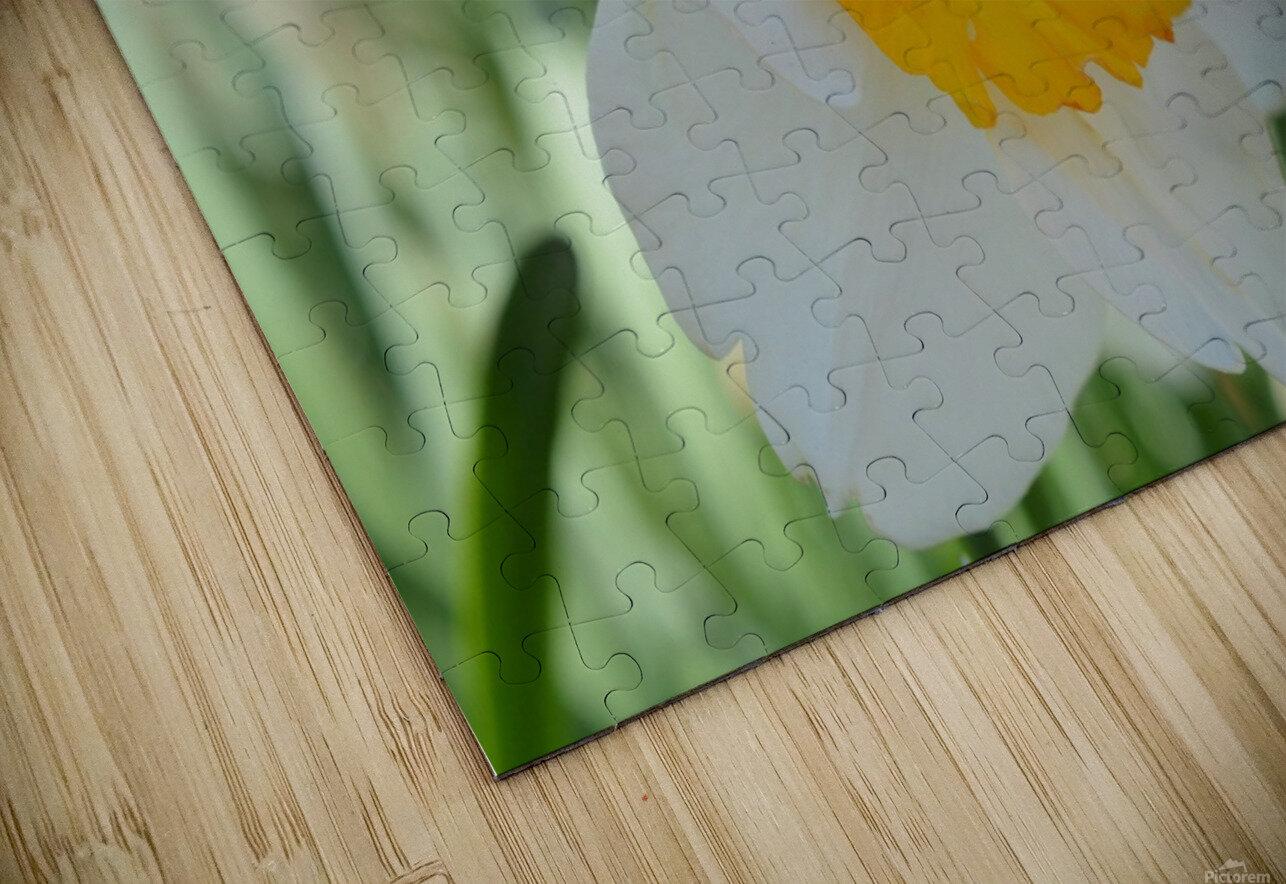 White Daffodil Photograph HD Sublimation Metal print