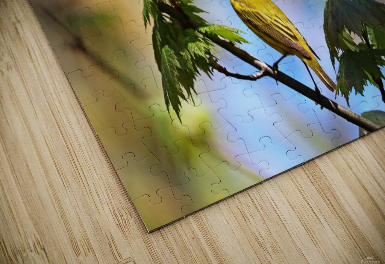 Yellow Warbler In Maple Tree HD Sublimation Metal print