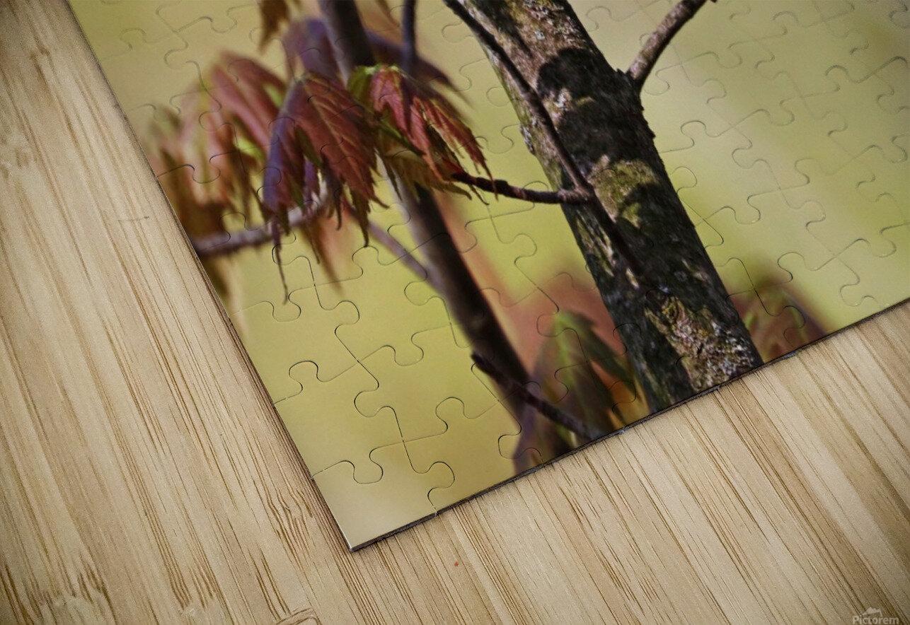 Blackburnian Warbler In Maple Tree HD Sublimation Metal print