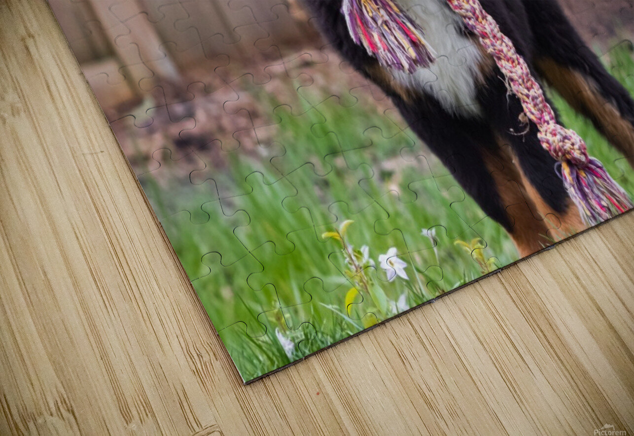 Bernese Mountain Dog Puppy 8 HD Sublimation Metal print
