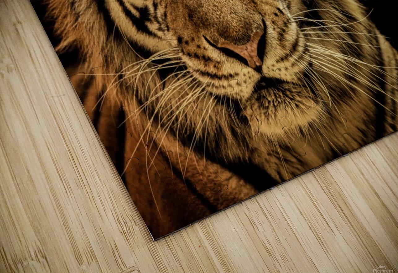 Massive Siberian Amur Tiger  HD Sublimation Metal print