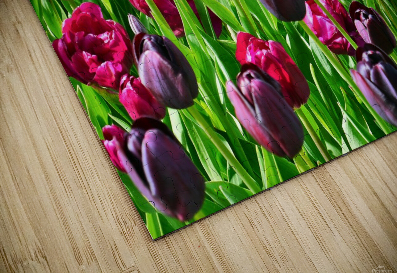 Field of Tulips HD Sublimation Metal print
