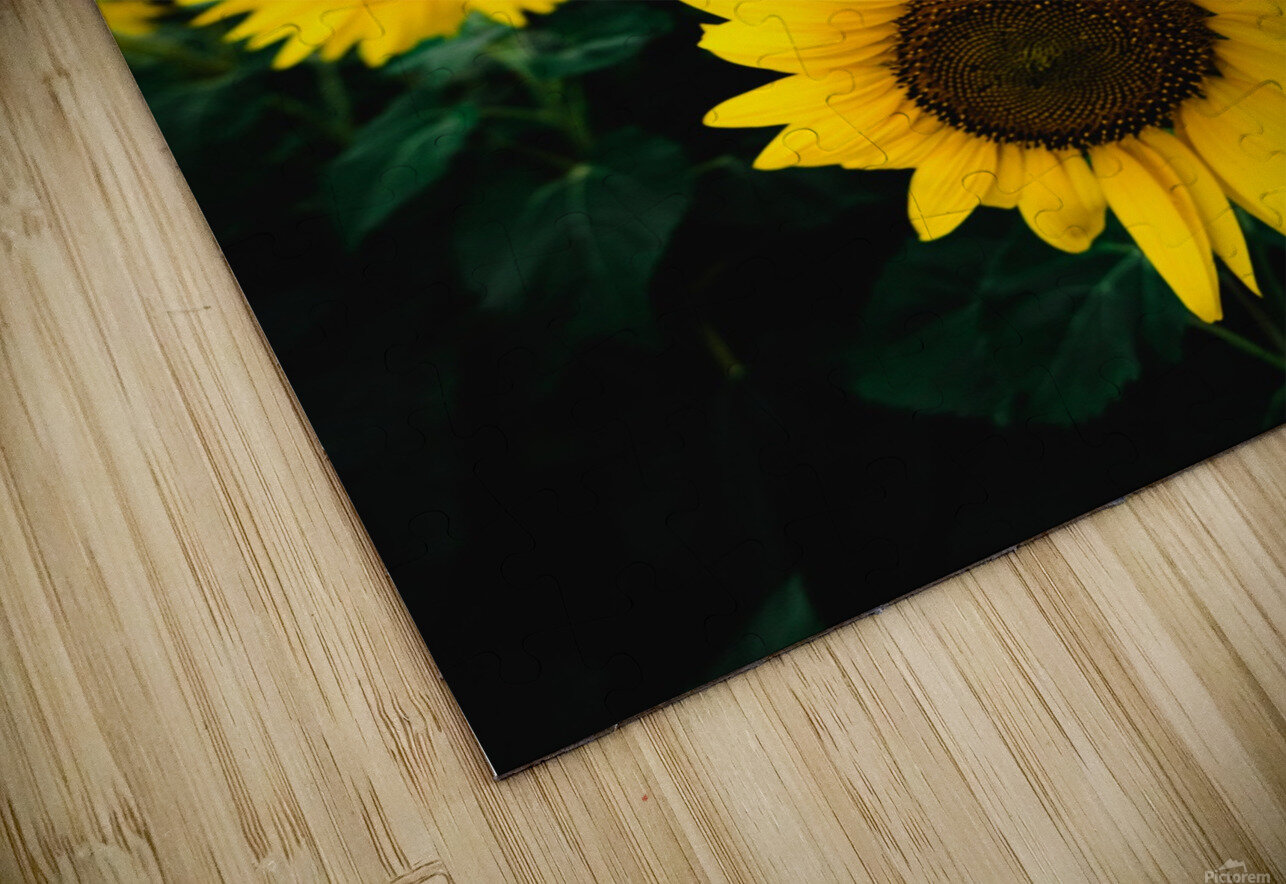 Sunflower Sunset HD Sublimation Metal print