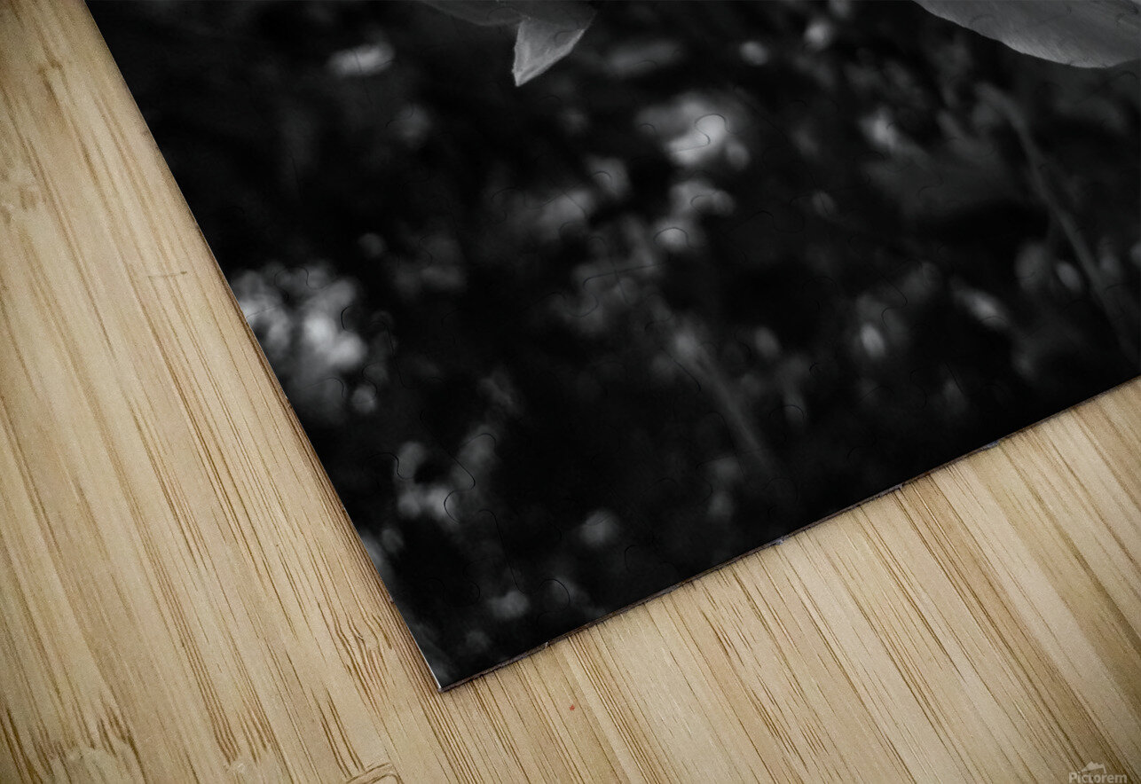 Blooming flower in black and white HD Sublimation Metal print