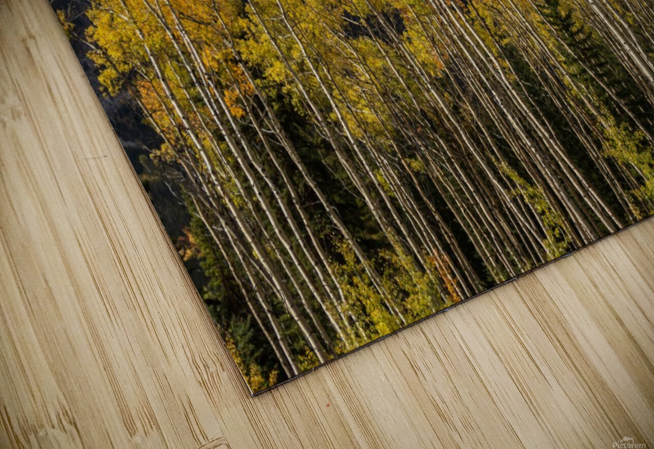 Aspens In Fall Banff National Park HD Sublimation Metal print