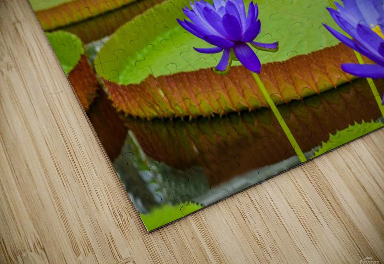 Purple water lily in a pond HD Sublimation Metal print