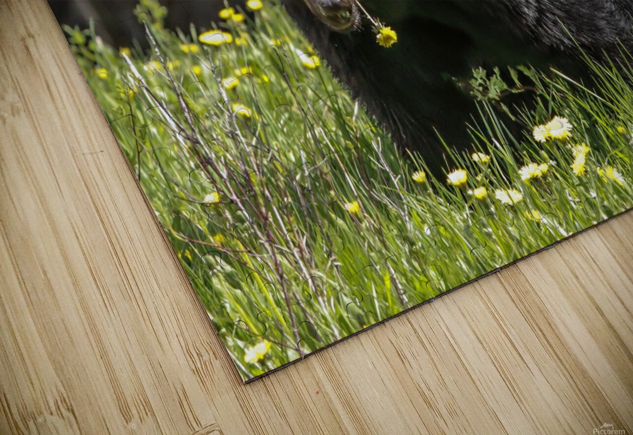 Black Bear With Dandelion HD Sublimation Metal print