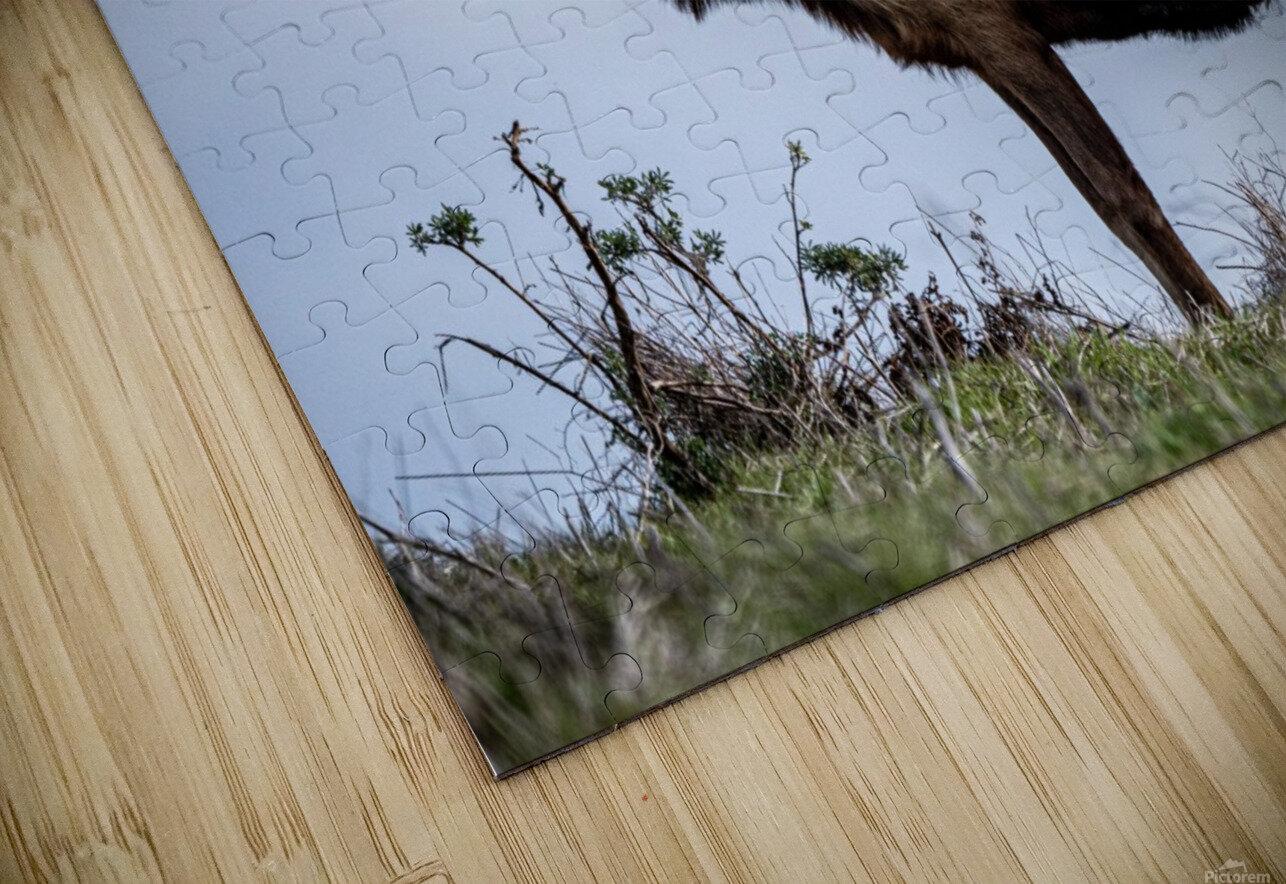 Tule Elk HD Sublimation Metal print