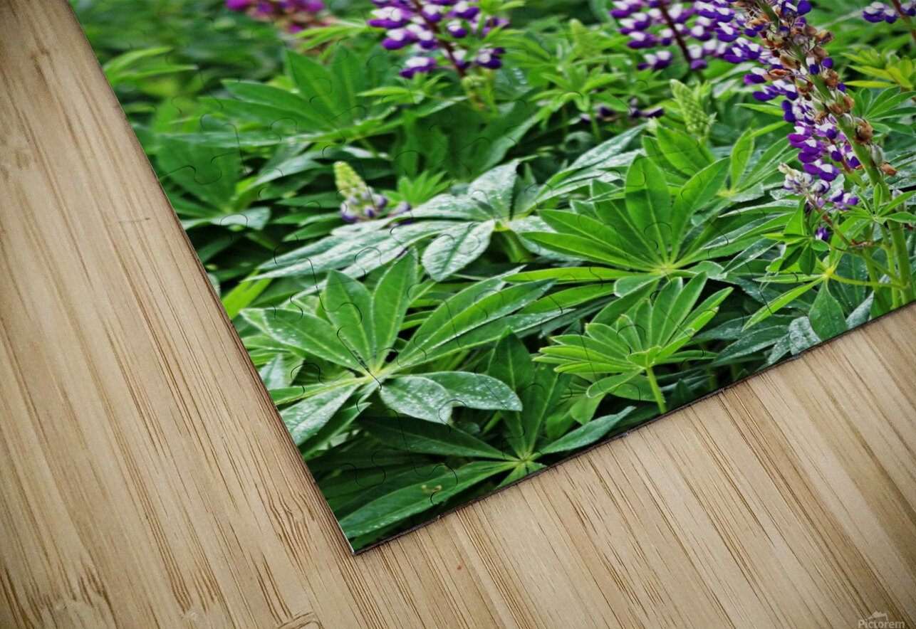 Shades Of Purple Lupine HD Sublimation Metal print
