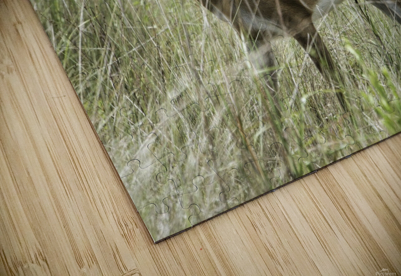 White Tailed Dear HD Sublimation Metal print