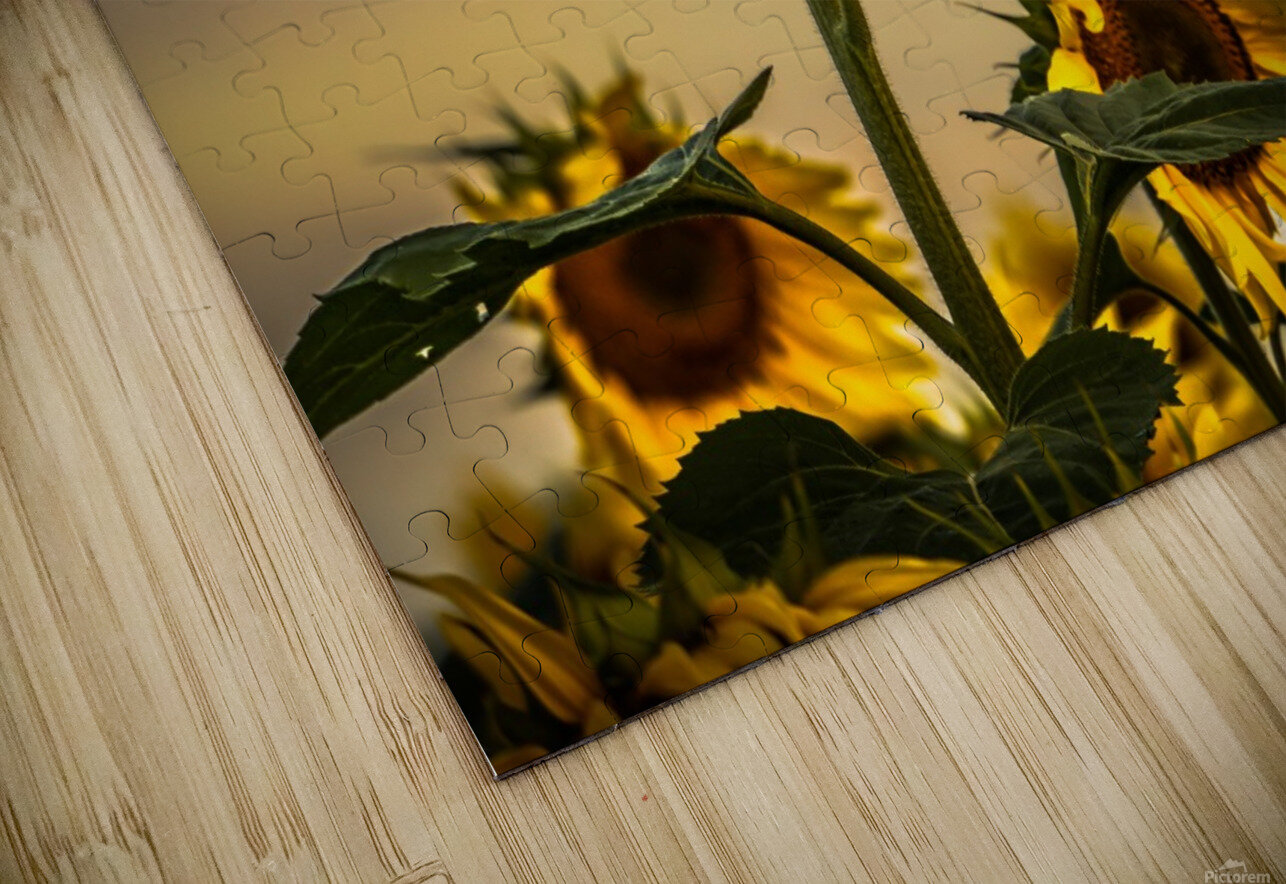 Gone with the Sunflowers HD Sublimation Metal print