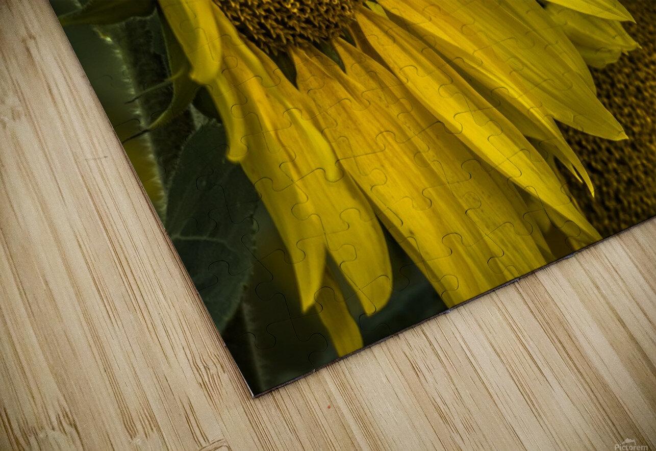 Sunflower Dawn  HD Sublimation Metal print