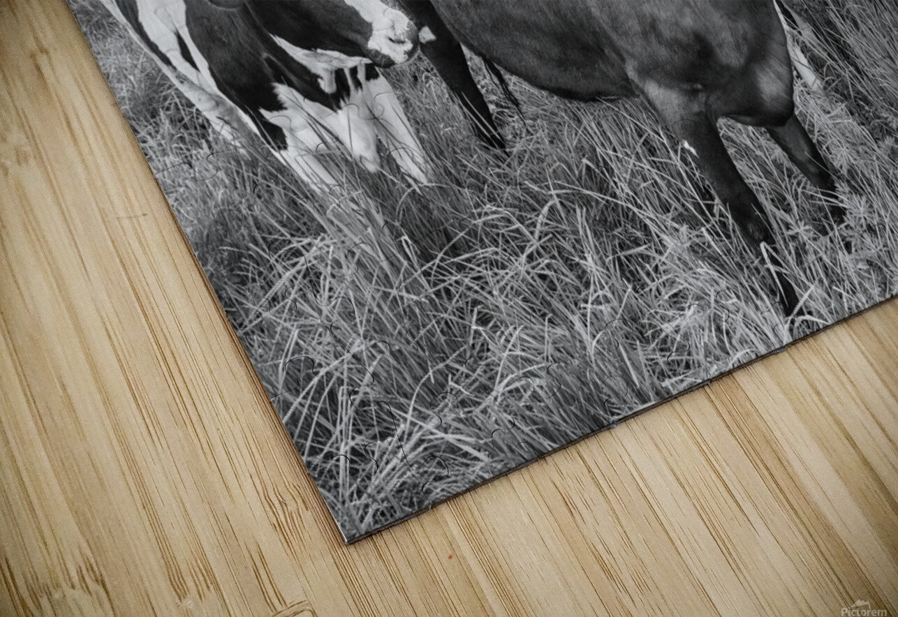 Cow Herd up Close HD Sublimation Metal print