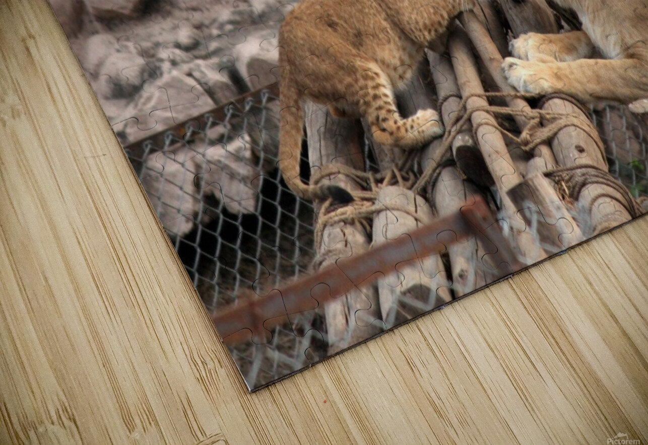 Lioness baby in Lucknow Zoo (1) HD Sublimation Metal print