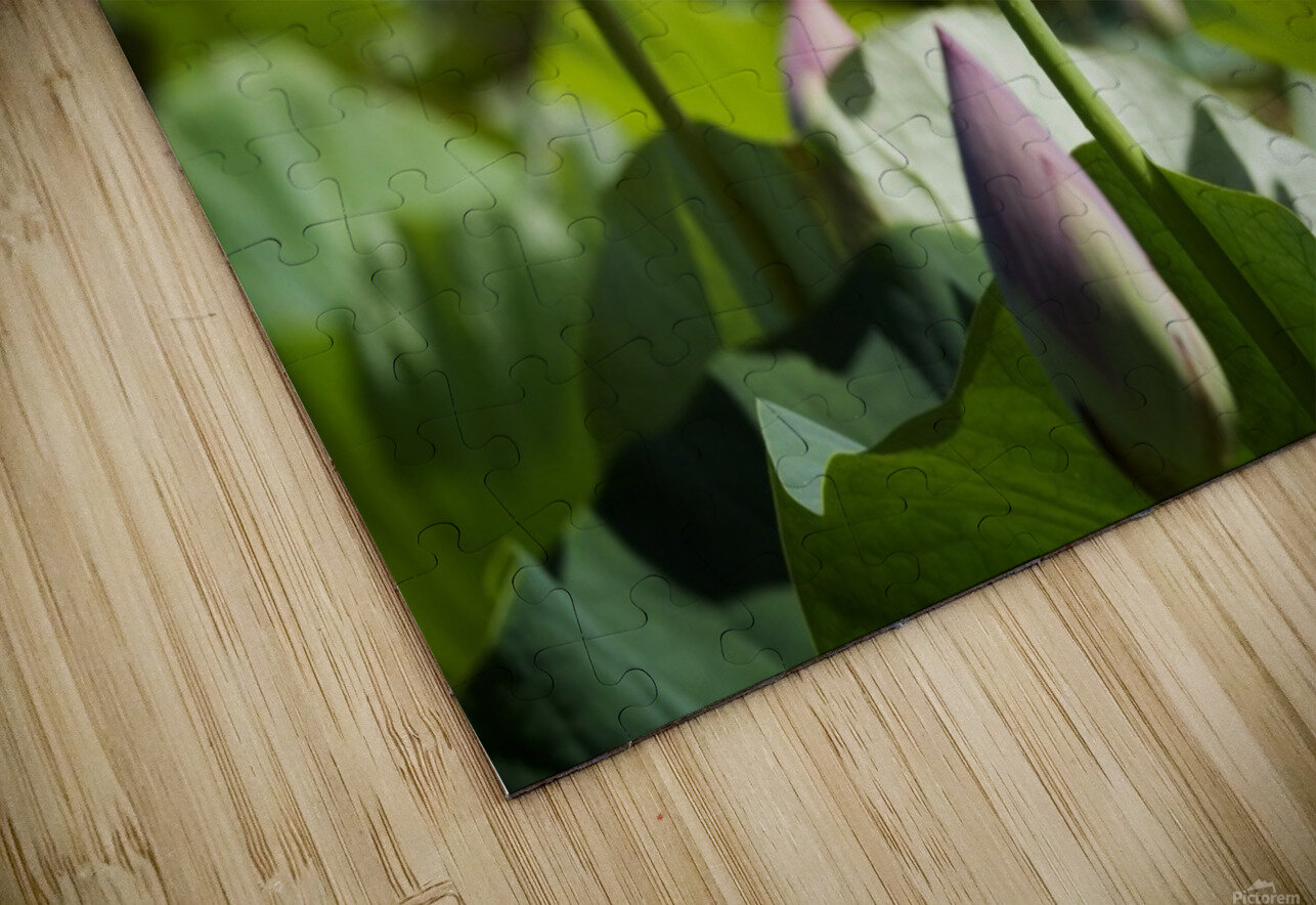 Lots bud with blooming lotus flowers behind HD Sublimation Metal print