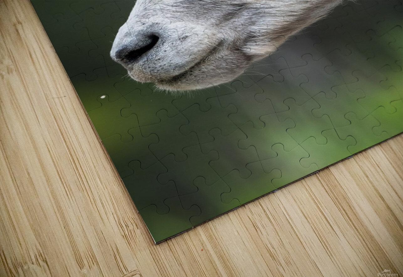5512 - Big Horn Sheep HD Sublimation Metal print