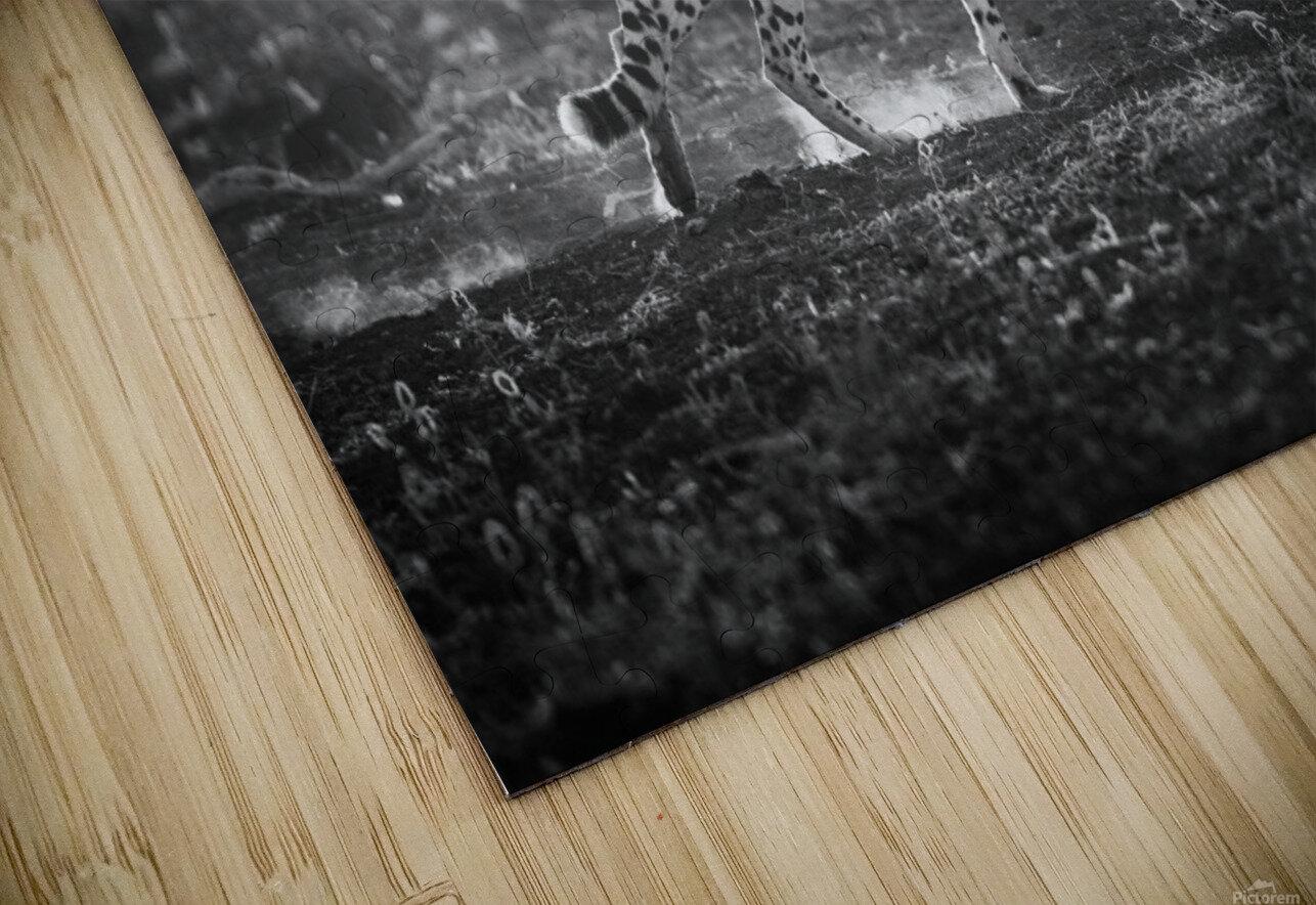 Backlit Cheetah by Jaco Marx  HD Sublimation Metal print