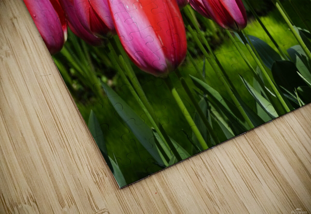 Tulips of the Netherlands 4 of 7 HD Sublimation Metal print