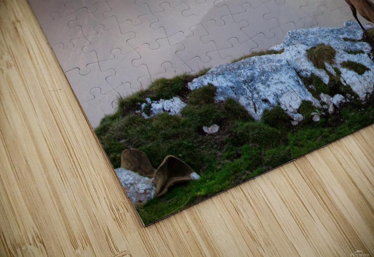Chamois in Piatra Craiului Romania HD Sublimation Metal print