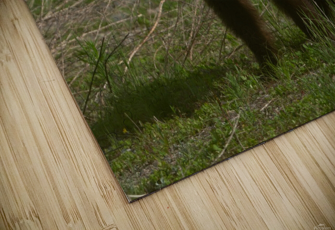 Cinnamon Black Bear HD Sublimation Metal print