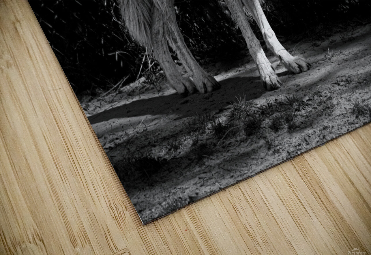 Wolf 1 HD Sublimation Metal print