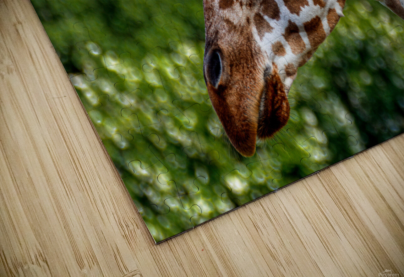 Reticulated Giraffe 1 HD Sublimation Metal print