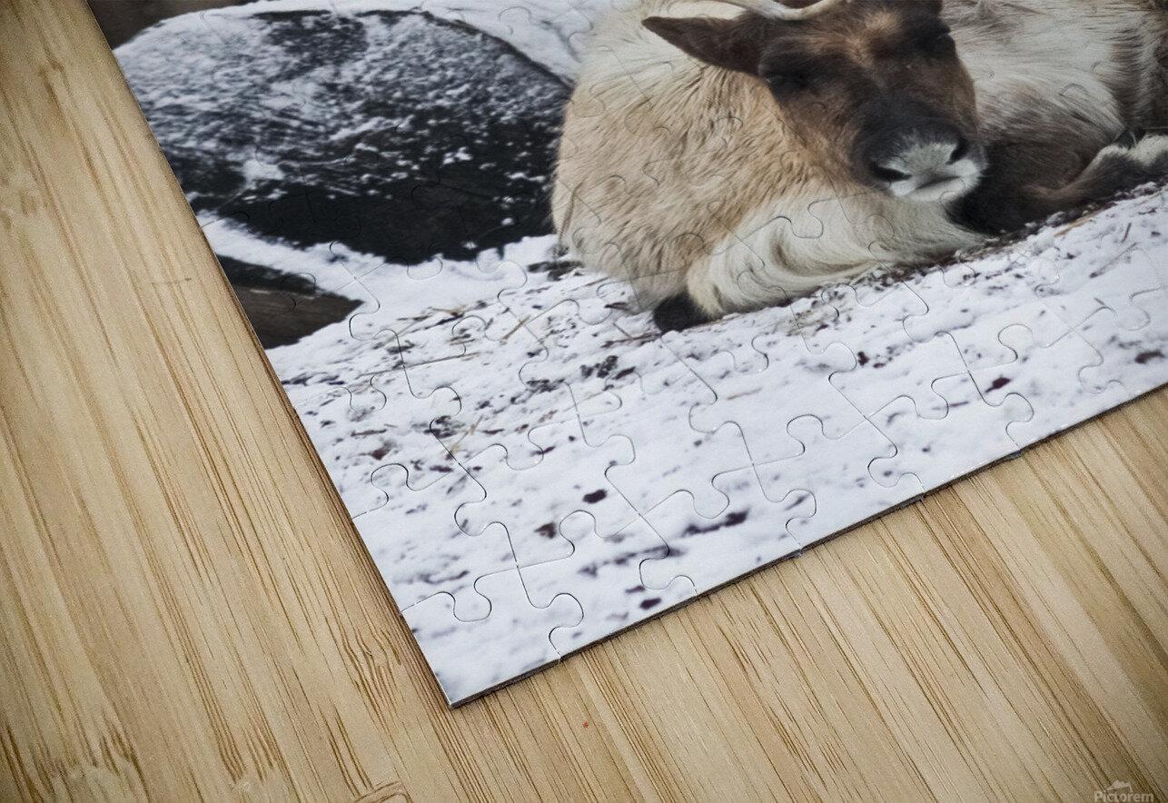 Enjoying the Snow  Caribou   HD Sublimation Metal print