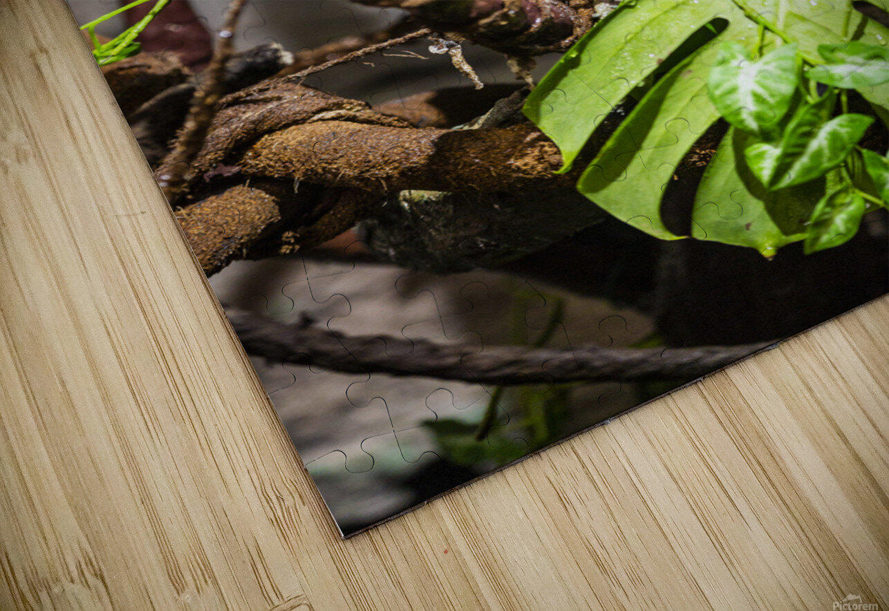 Curled Up  Python  HD Sublimation Metal print