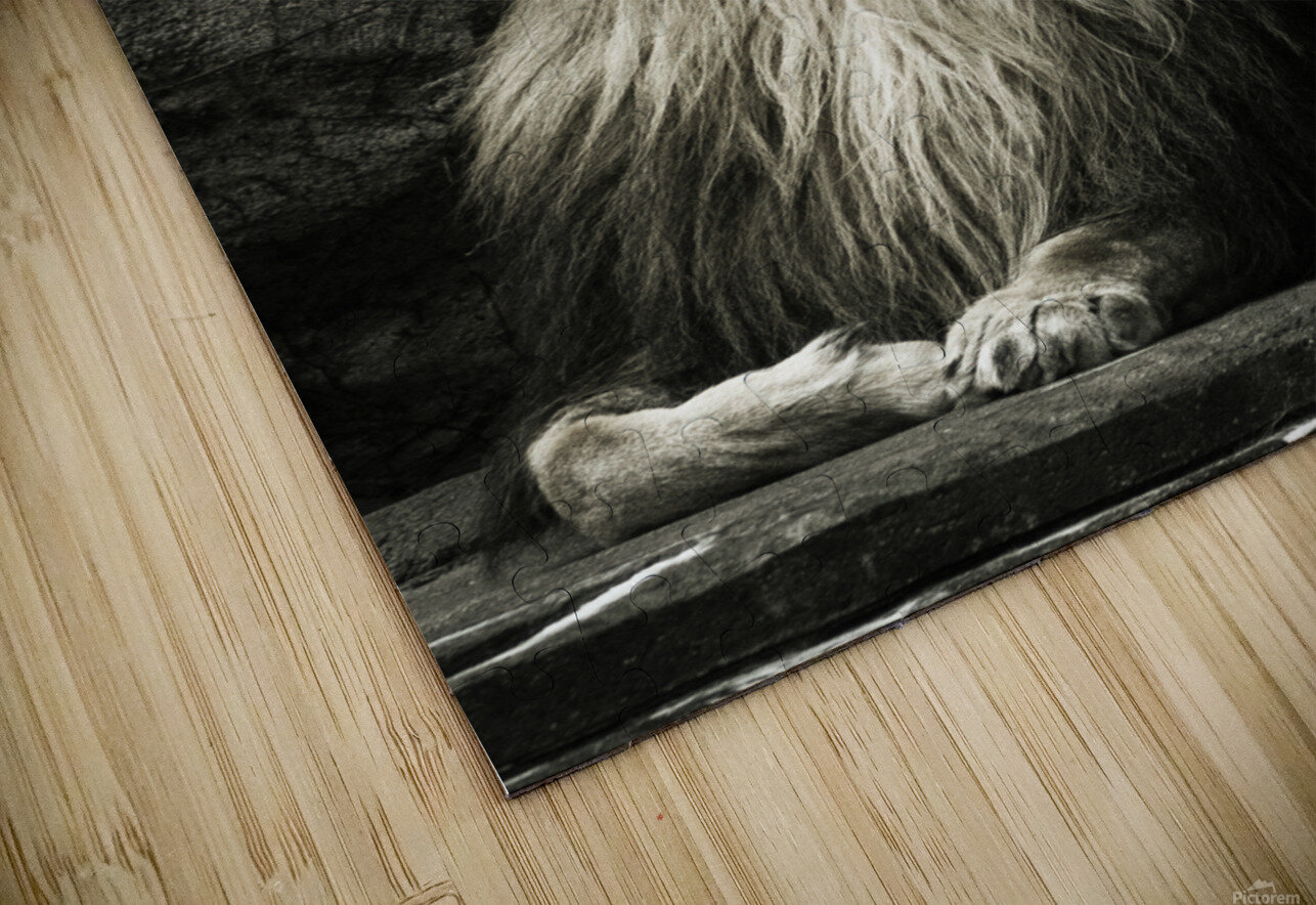 Chill of the Day  Lion  HD Sublimation Metal print