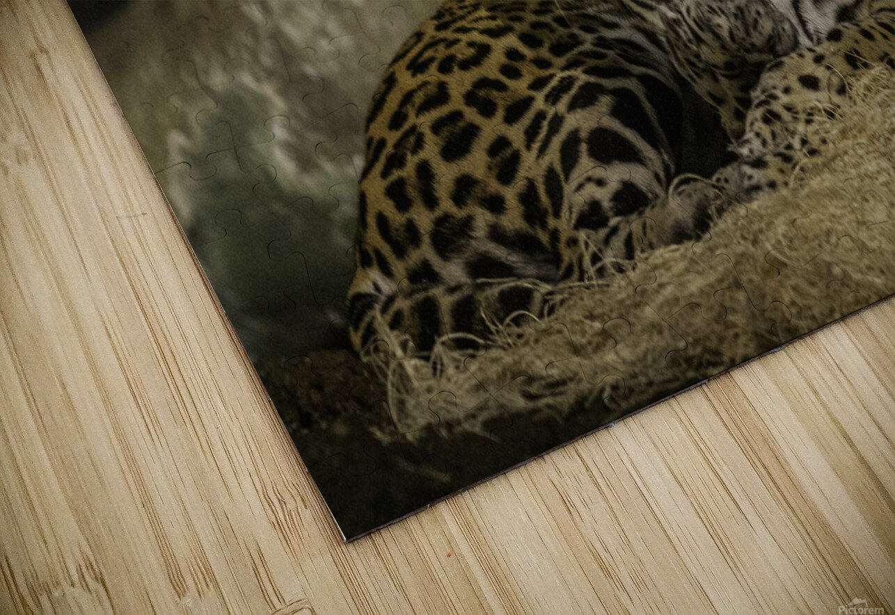 Morning Bath  Jaguar  HD Sublimation Metal print