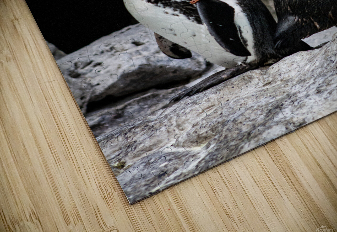 Posing for the Camera  Penguin  HD Sublimation Metal print