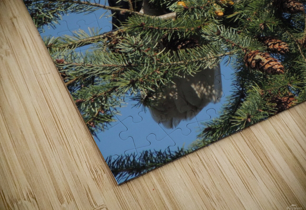 Bald Eagle at Herring Season  HD Sublimation Metal print