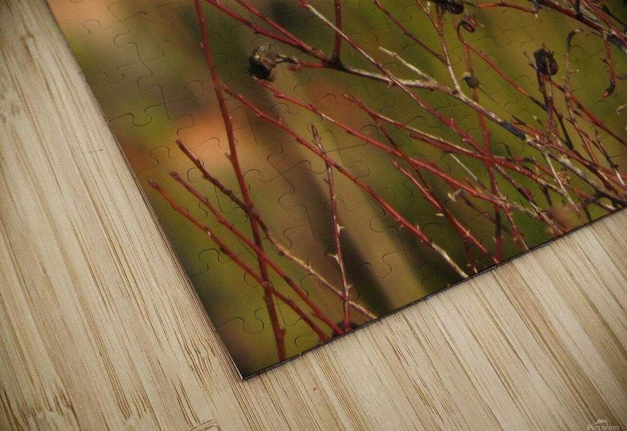 Sparrow on Wild Rose  HD Sublimation Metal print