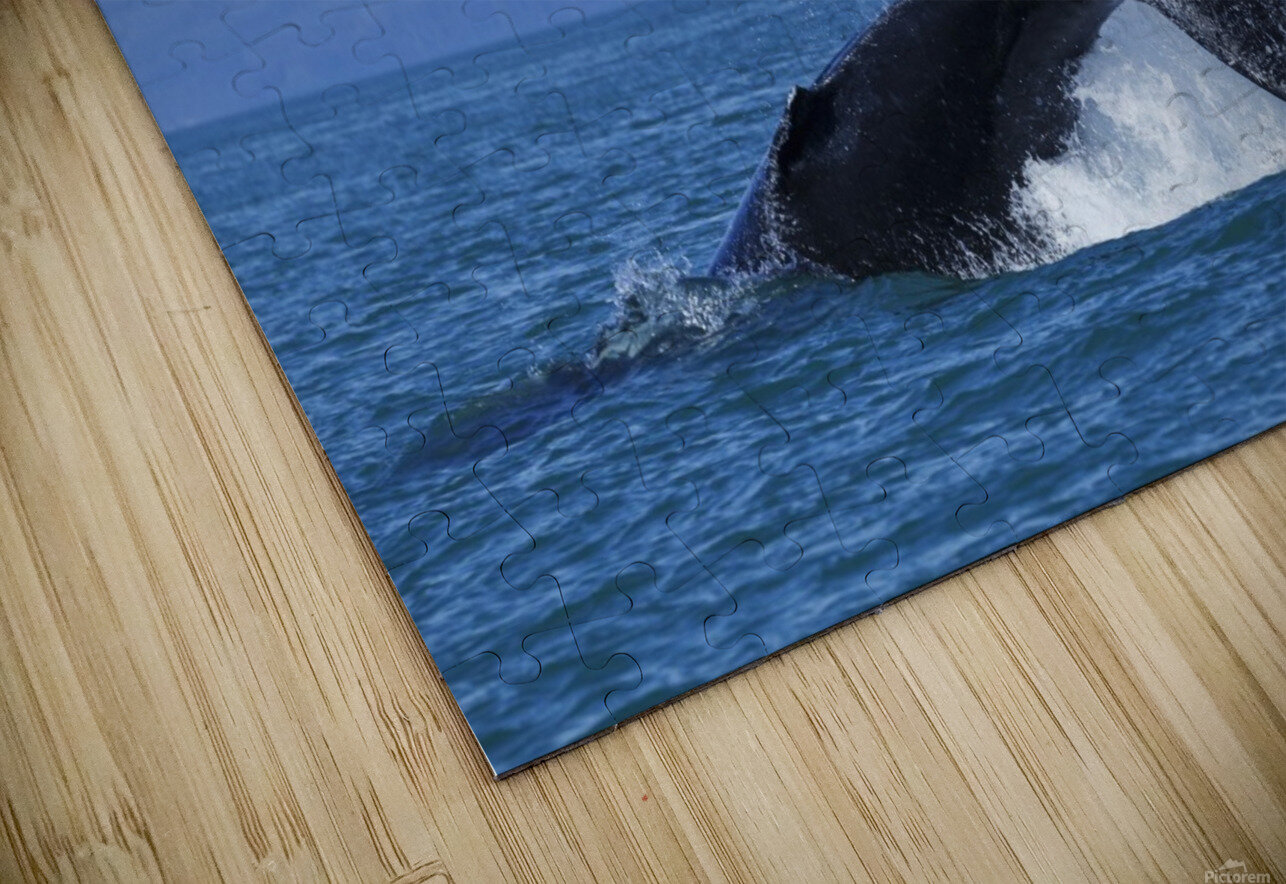 A Humpback Whale calf frolicks in Lynn Canal near Berners Bay, Inside Passage, Alaska HD Sublimation Metal print