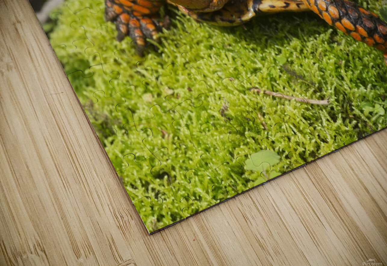 Eastern box turtle on sphagnum moss among blue violets; Connecticut, USA HD Sublimation Metal print