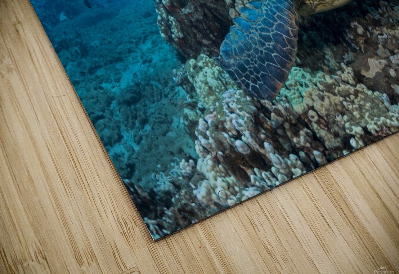 Several green sea turtles (Chelonia mydas), an endangered species, gather at a cleaning station off West Maui; Maui, Hawaii, United States of America HD Sublimation Metal print